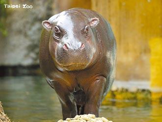 北市動物園侏儒河馬 保育合作遠赴美國開枝散葉