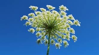 3歲女童亂採小白花!隔日長出巨大水泡 醫一看竟是毒花