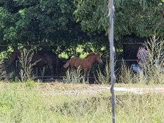 2匹馬趁吃草自行微解封 高雄鬧區逛大街嚇壞路人