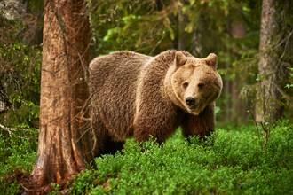 10天不吃不喝躲樹上 夫妻遭棕熊追擊險成人肉大餐