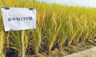 新品種米 台中秈199號北彰化試種