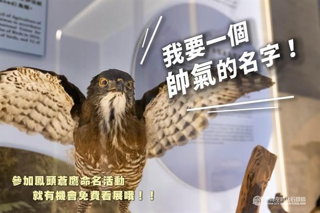 左鎮化石園區鳳頭蒼鷹標本徵求帥氣名字!(左鎮化石園區提供/曹婷婷台南傳真)