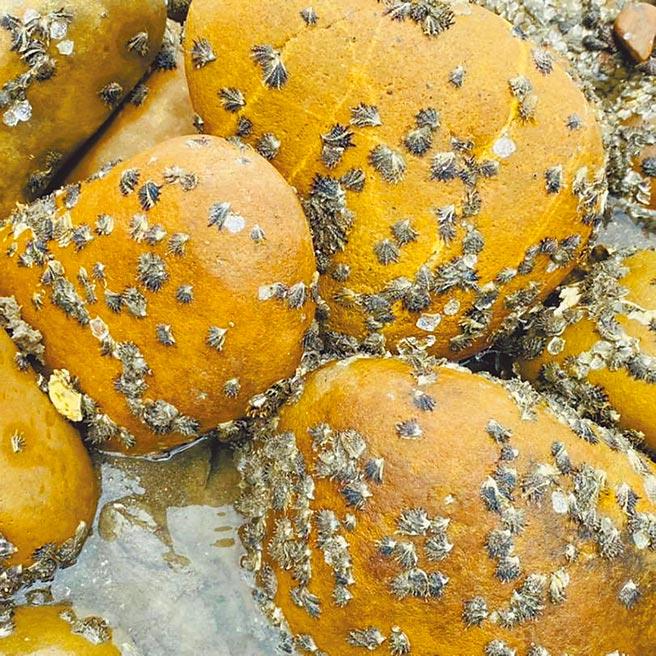 桃園新屋區蚵間里海邊7月出現爆量蚵苗,密密麻麻的蚵苗覆蓋於卵石上,成為當地特殊景象。(桃園石滬協會提供/蕭靈璽桃園傳真)