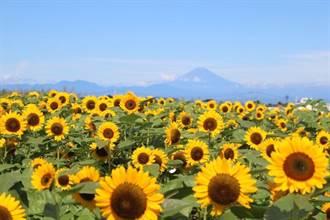 富士山、相模灣、黃金花海免費賞 東京近郊「太陽之丘」10萬株向日葵盛放