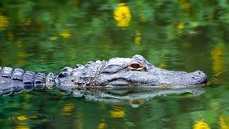 他不爽竟找鱷魚洩憤!抓尾巴空中狂甩撞牆 下場超慘