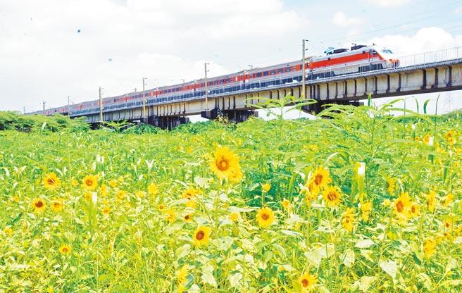 高屏溪河濱公園旁向日葵盛開,還有火車緩緩經過,吸引民眾目光。(林和生攝)