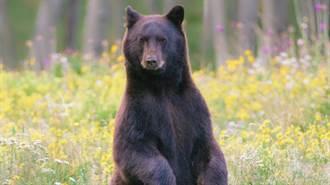 他開車門驚見黑熊探頭打招呼!一看車內秒傻眼