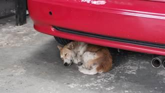車庫混凝土牆頻傳嗚咽聲!她破牆驚見鄰居失蹤5天的愛犬
