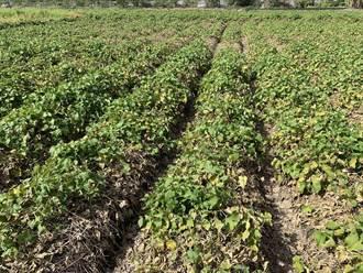 搭黑網防曬提高龍鬚菜產量 成本過高農民不領情
