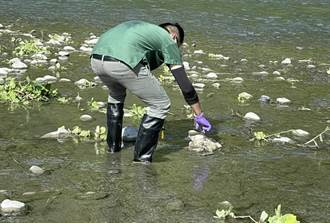 死鴨丟棄秀姑巒溪 農業處急採檢防疫病