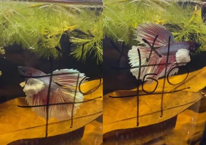 國外一名飼和家中寵物魚玩起眾人熟悉的井字遊戲,結局震撼280萬網友。(圖片翻攝自抖音/@bettakiki)
