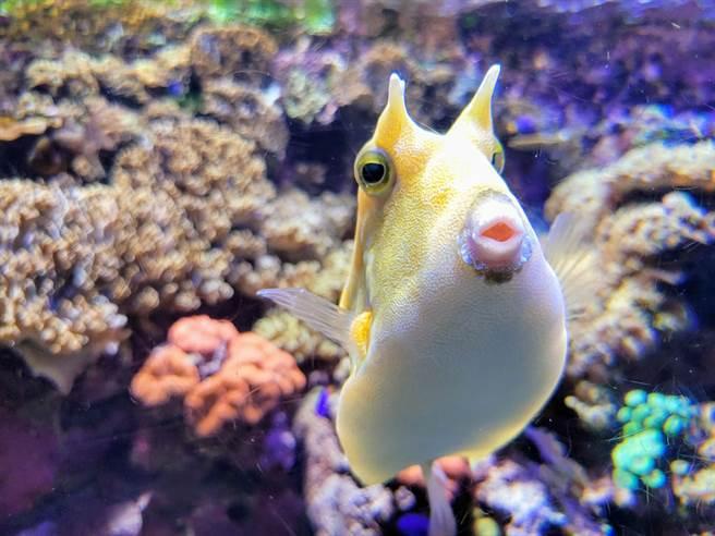 美國珊瑚恢復基金會意外捕捉到一隻熱情友好的牛角魚,不斷對著鏡頭狂親猛撞的畫面,超萌舉動融化無數網友。(示意圖/達志影像)