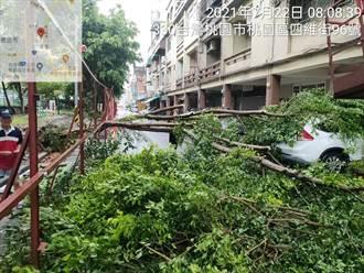 烟花逼近 桃園又傳樹倒 2轎車被壓毀