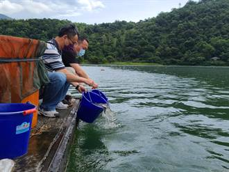 放流黑白鰱接力吞藻 改善鯉魚潭優氧化