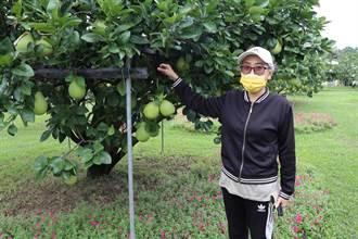 烟花颱風來襲 麻豆柚農加強防颱措施