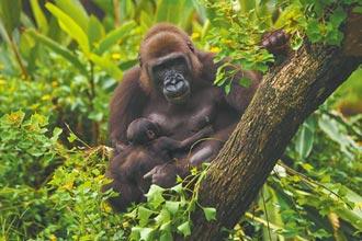金剛猩猩寶寶 命名投票開跑