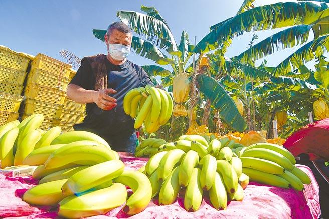 颱風逼近,台東蕉農趁著天晴搶收香蕉。(莊哲權攝)