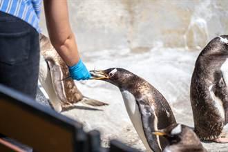 美女主播穿迷你洋裝報氣象 企鵝圍觀一半餓了猛咬小腿