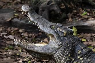 猛鱷見食物嗨翻暴衝 超狂飼養員一摸牠鼻子秒冷靜