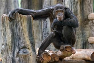 史上首見人猿內戰 黑猩猩圍攻5大猩猩 肉搏結局專家驚