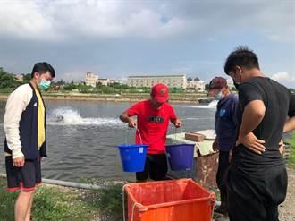 金門大學獨創高粱酒糟養蝦 蝦苗存活率提高25%