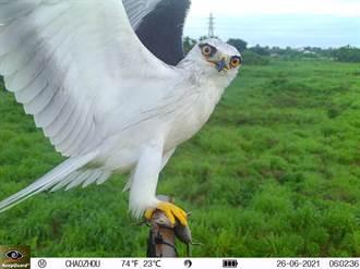 潮州鎮公所攜手屏科大設「棲架」復育猛禽有成 老鷹叼老鼠好自然