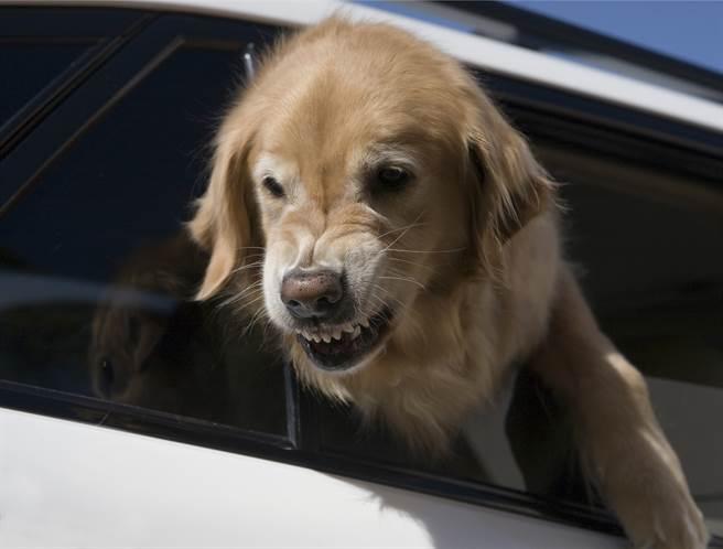 黃金獵犬發現主人沒買牠的飲料,竟當場賭氣將頭塞進角落,讓人看了哭笑不得。(示意圖/達志影像)