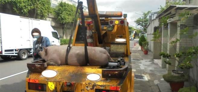 國道1號南向367公里處,22日下午2時左右出現一隻豬疑自貨車掉落,國道第五大隊接獲通報後,立即派巡邏車前往查看,巡邏人員2時11分到場時,該豬隻已由拖吊車司機排除至路肩安全處所。(國道警方提供/林雅惠高雄傳真)