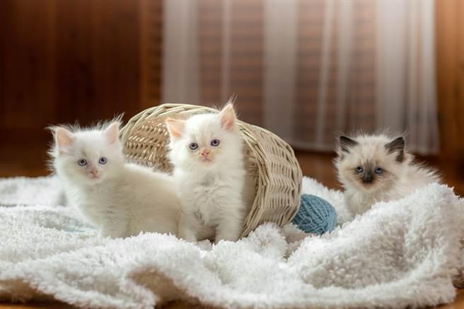 母貓將小貓叼到小主人面前,似乎想介紹雙方認識,超萌舉動融化百萬名網友。(示意圖/達志影像)
