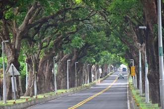 台東地標綠色隧道80年老樹遭斷肢 民眾憂心
