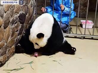 二度當媽!成都貓熊「昭美」產下奧運寶寶