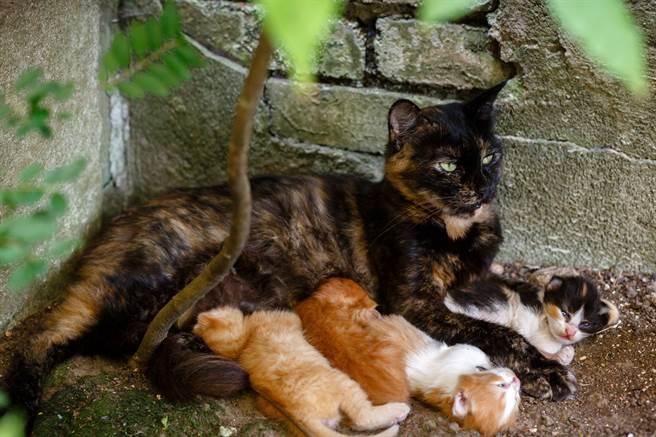 母貓擔心天氣受熱帶氣旋影響恐會下雨,小貓可能會有危險,因此便將孩子們叼進住戶的屋內。(示意圖/達志影像)
