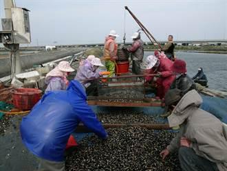 疫情降級因應餐飲業需求 雲林沿海漁民搶收水產