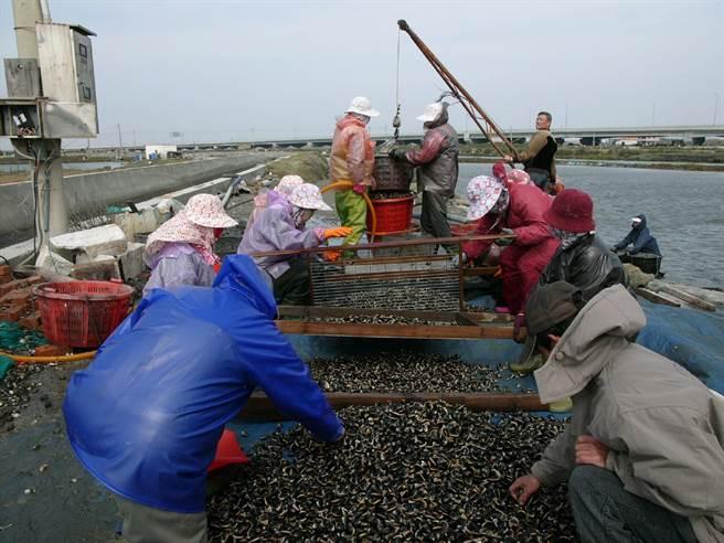 迎接疫情降級餐飲業需求,雲林縣沿海漁民搶收水產。(張朝欣攝)