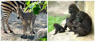 台北動物園8月1日重新開園 斑馬等新生兒將與遊客相見歡