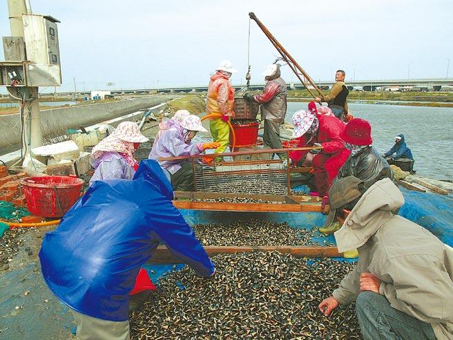 迎接疫情降級餐飲業內用需求,雲林縣沿海漁民搶收水產。(張朝欣攝)