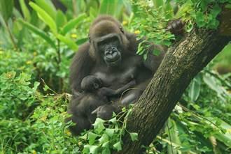 票選出爐!北市立動物園金剛猩猩「二寶」命名「Ringo」