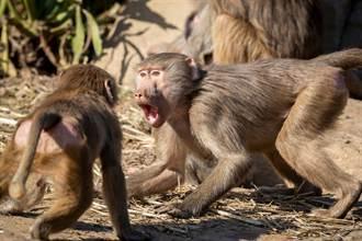 猴王互看不爽 兩大幫派街頭廝殺 人類怕爆不敢介入