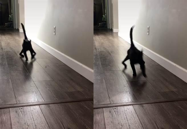 國外一隻黑貓聽見飼主放飯時,以外八的後腳,從暗處朝著鏡頭奔馳而來,乍看之下與恐怖片《大法師》中鬼上身的恐怖爬行模樣有幾分相似。(圖片翻攝自TikTok/@ambassadoraries)