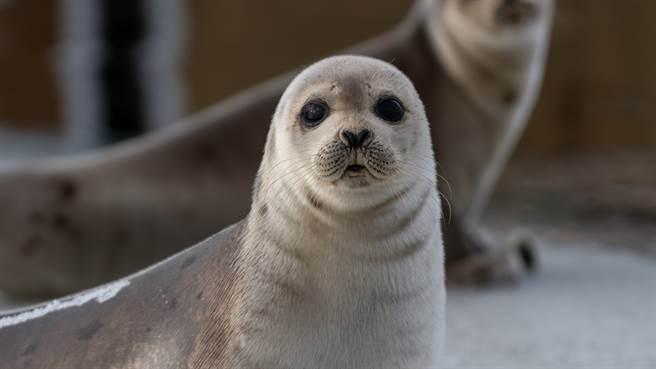 日本海豹動物園日前公開一段海豹撒嬌的影片,讓網友瞬間融化。圖片為示意圖(圖/shutterstock)