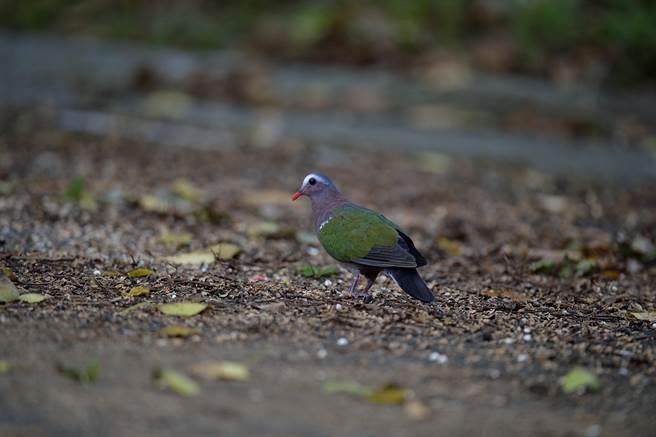 林口出現稀有的保育類動物翠翼鳩。(林口區公所提供,李文魁攝)