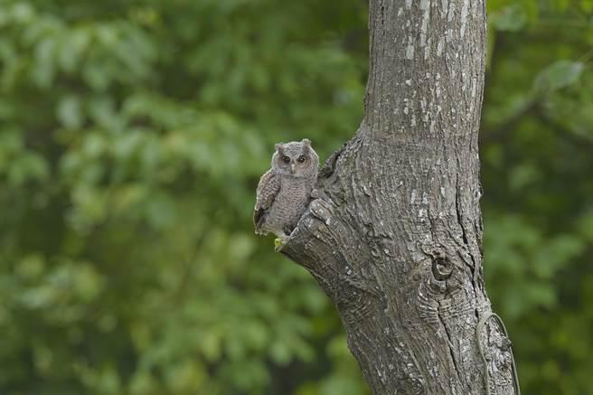 林口出現神祕嬌客領角鴞。(林口區公所提供,李文魁攝)