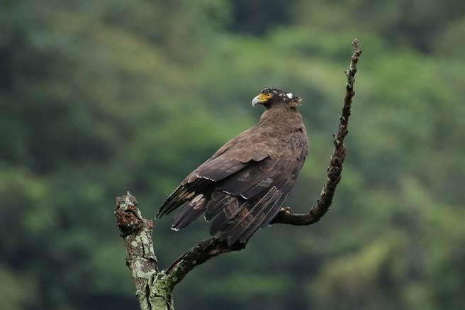 林口溪沿岸可以看到大冠鷲。(林口區公所提供,鹿士華攝)