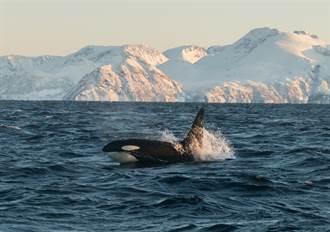神話級白虎鯨出沒北海道 稀有身影震驚專家
