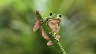 2cm迷你樹蛙重傷急開刀!他拿顯微鏡神手救援 眾人驚呆