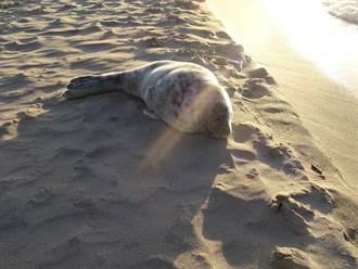 母海豹脖子纏塑膠繩無力養兒 村民見心酸一幕淚崩