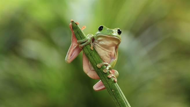 澳洲一名獸醫近日為一隻身受重傷的迷你樹蛙進行手術,並在網路上分享過程,吸引網友熱議。圖片為示意圖(圖/shutterstock)