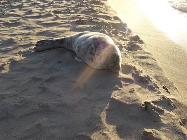 灰海豹媽媽的脖子被纏住,導致牠無力照顧孩子,寶寶也因此喪命。(示意圖/達志影像)