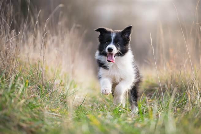 小邊境牧羊犬看到牛群立刻興奮地衝了過去,但下秒卻被大牛嚇到落荒而逃。(示意圖/達志影像)