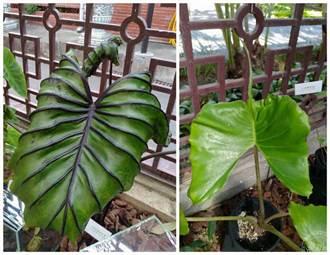 園藝界最夯的雨林植物亮相 士林官邸雨林植物展開鑼